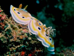Twin Chromodoris Nudibranch. Olympus C-8080WZ / Ikelite D... by Peter Baerentzen 